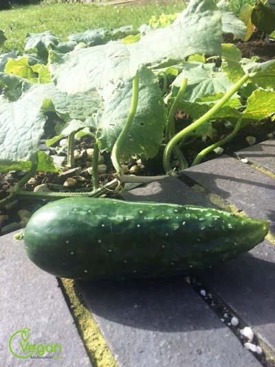 cucumber-tryptophan