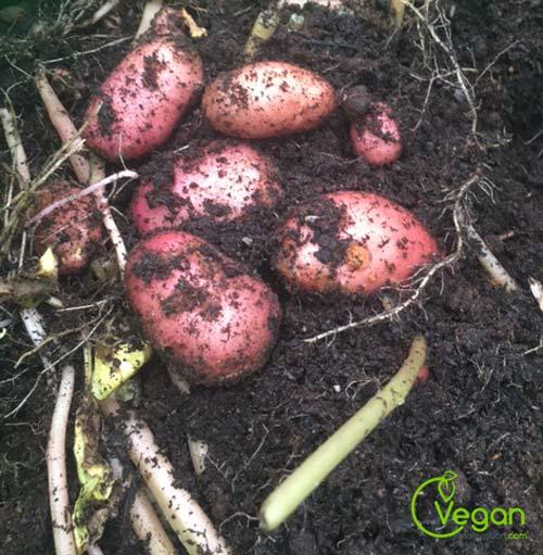potato-tryptophan