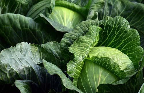 cabbage-natural-antibiotic